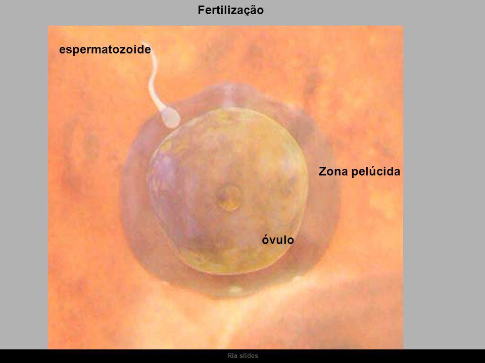 Fertilização espermatozoide óvulo Zona pelúcida Ria slides