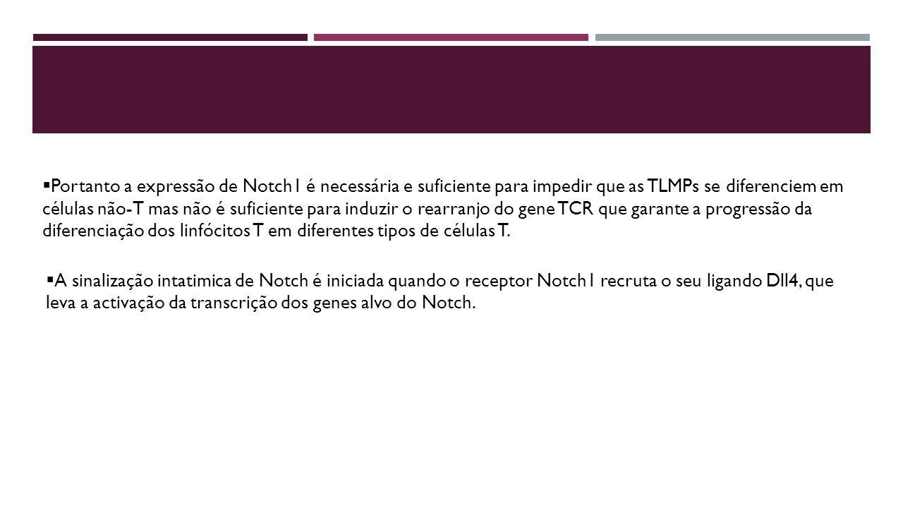 Portanto a expressão de Notch1 é necessária e suficiente para impedir que as TLMPs se diferenciem em células não-T mas não é suficiente para induzir o rearranjo do gene TCR que garante a progressão da diferenciação dos linfócitos T em diferentes tipos de células T.