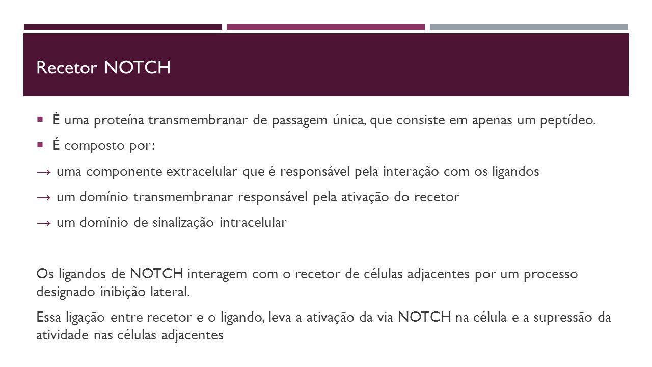 Recetor NOtch É uma proteína transmembranar de passagem única, que consiste em apenas um peptídeo. É composto por: