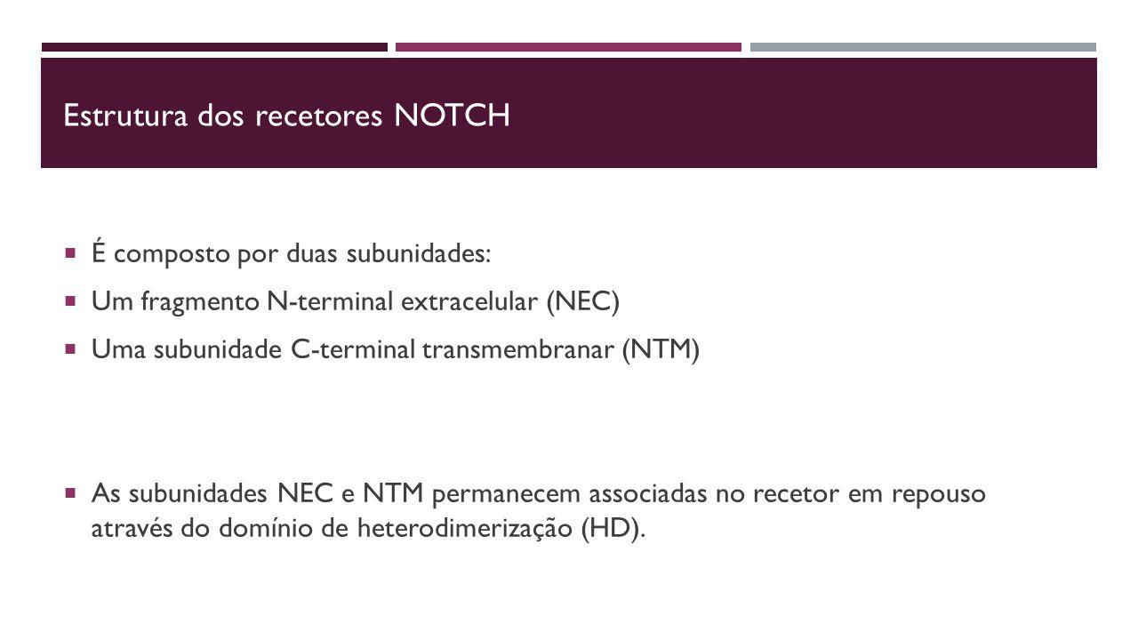 Estrutura dos recetores NOtch