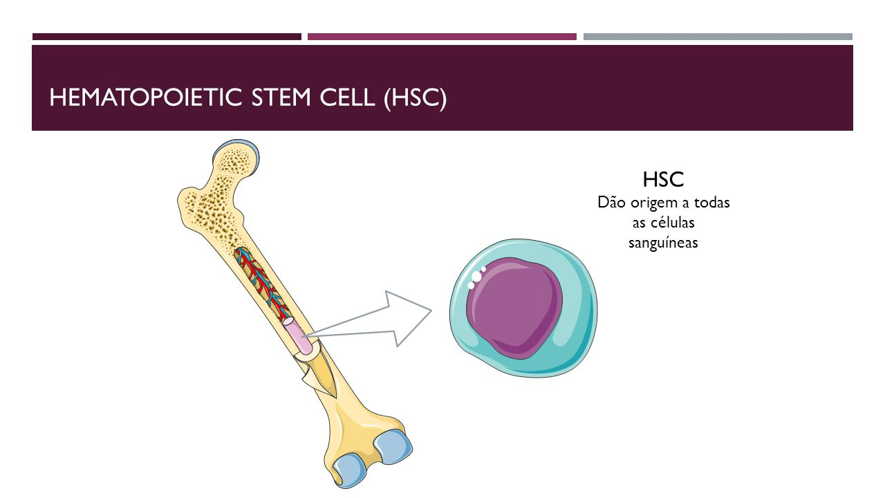Hematopoietic stem cell (HSC)