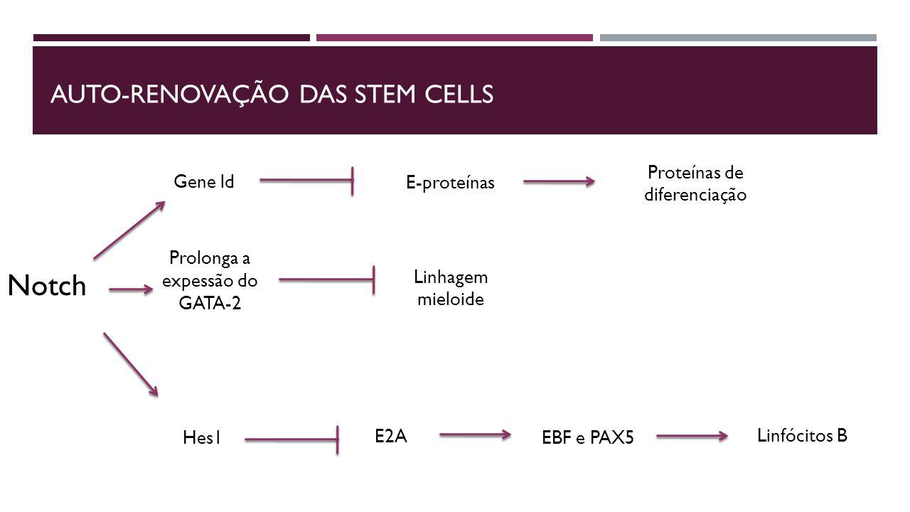 Auto-renovação das stem cells