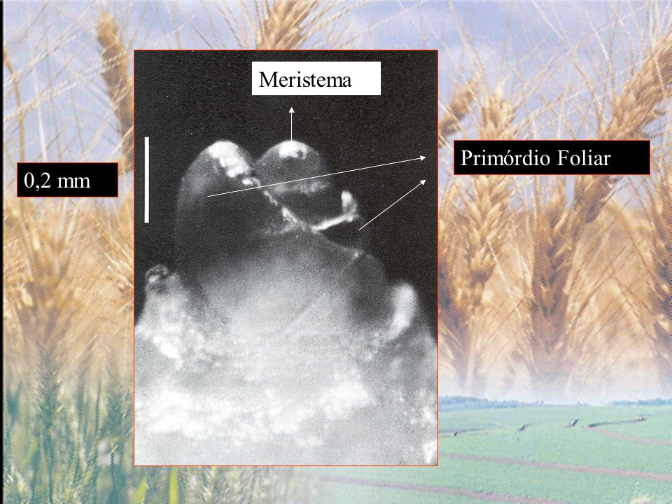 Meristema Primórdio Foliar 0,2 mm