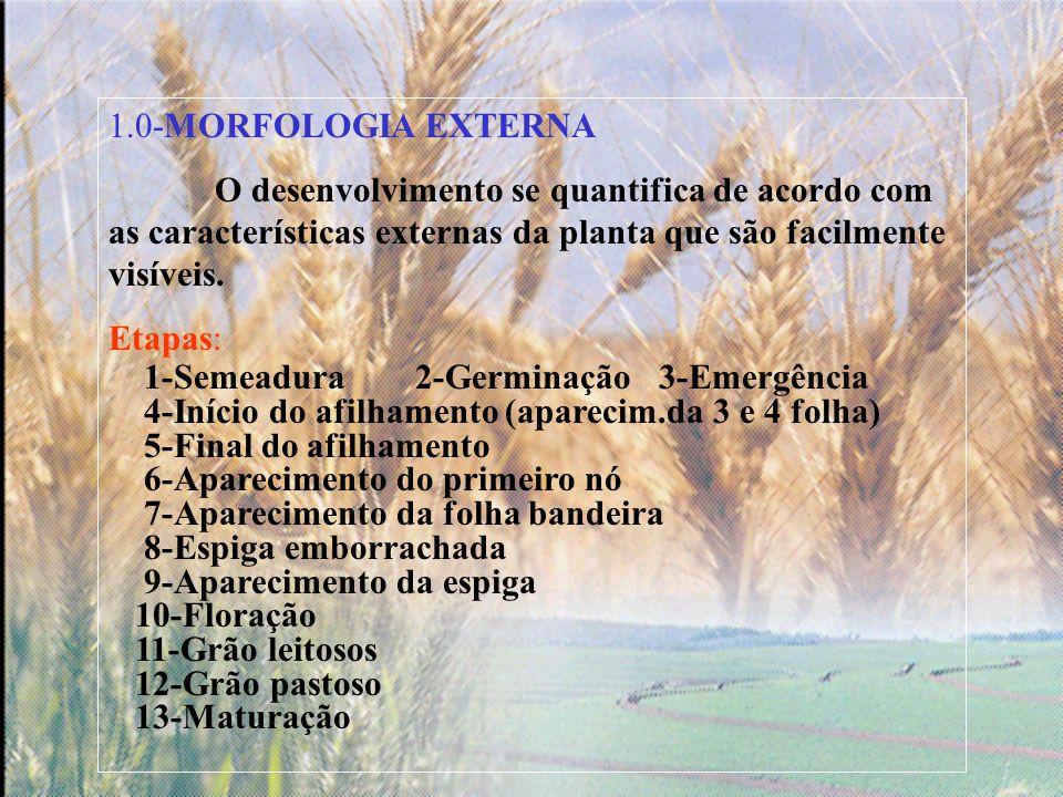 1.0-MORFOLOGIA EXTERNA O desenvolvimento se quantifica de acordo com as características externas da planta que são facilmente visíveis.