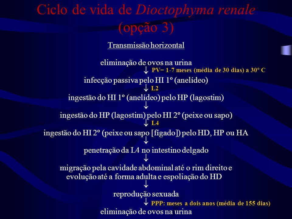 Ciclo de vida de Dioctophyma renale (opção 3)