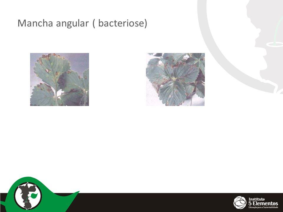 Mancha angular ( bacteriose)