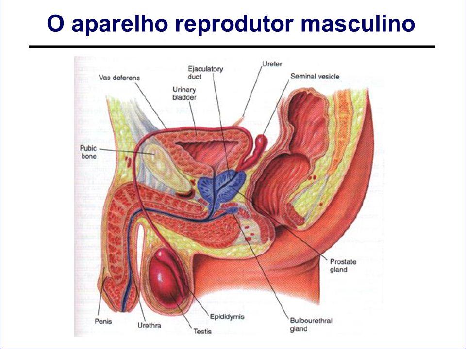 O aparelho reprodutor masculino
