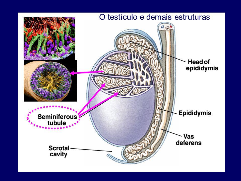 O testículo e demais estruturas