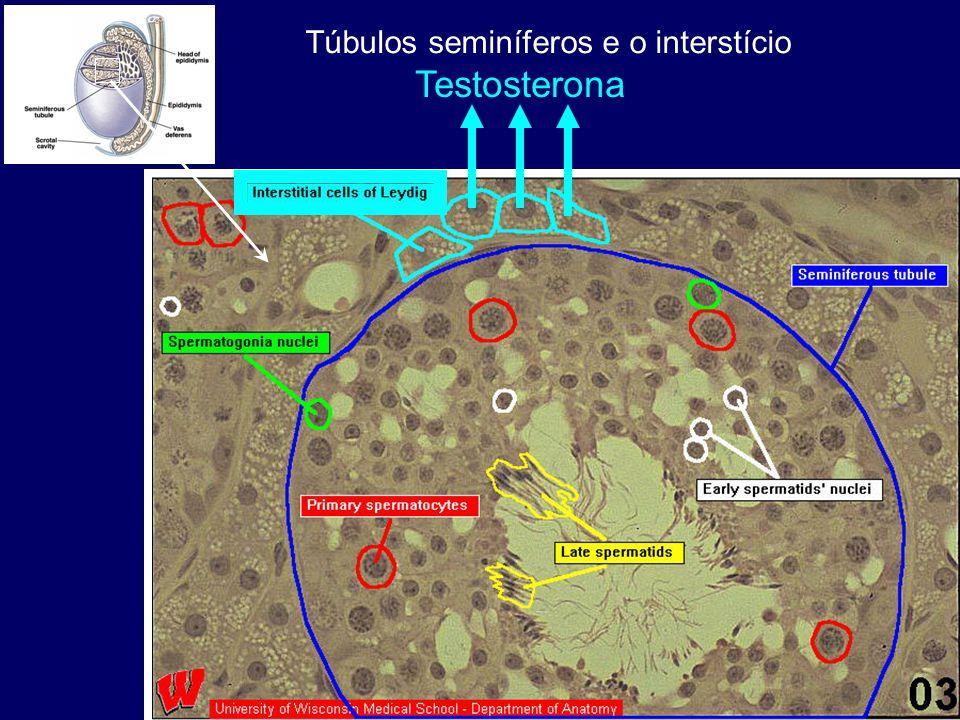 Túbulos seminíferos e o interstício