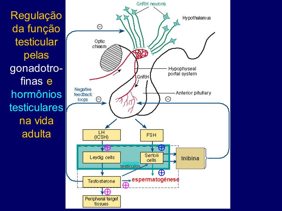 Regulação da função testicular pelas gonadotro-finas e hormônios testiculares na vida adulta