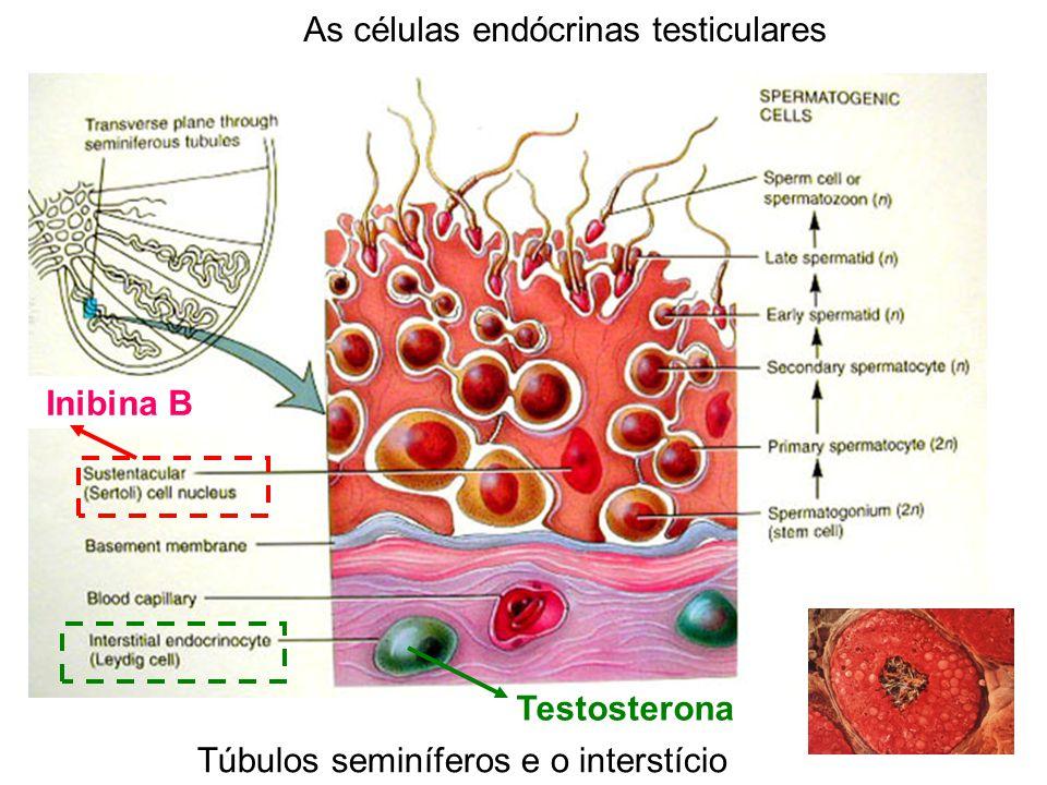 As células endócrinas testiculares