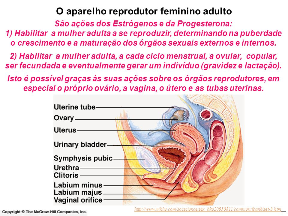 O aparelho reprodutor feminino adulto