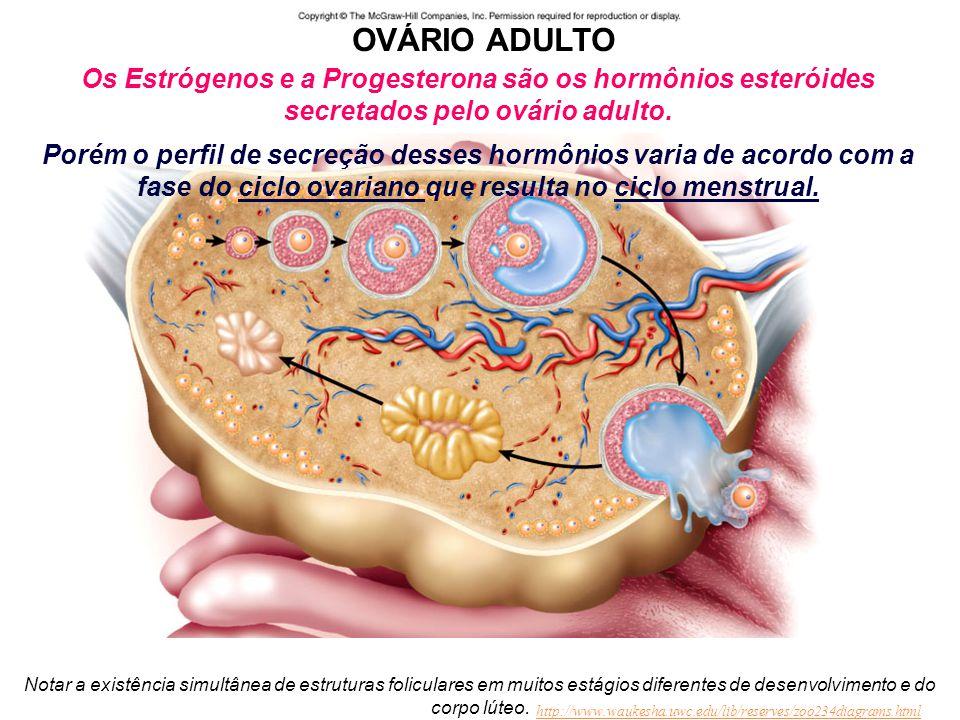OVÁRIO ADULTO Os Estrógenos e a Progesterona são os hormônios esteróides secretados pelo ovário adulto.
