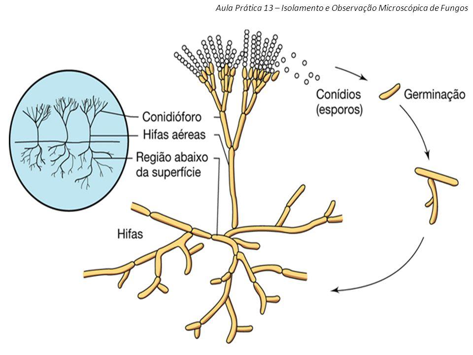 Aula Prática 13 – Isolamento e Observação Microscópica de Fungos