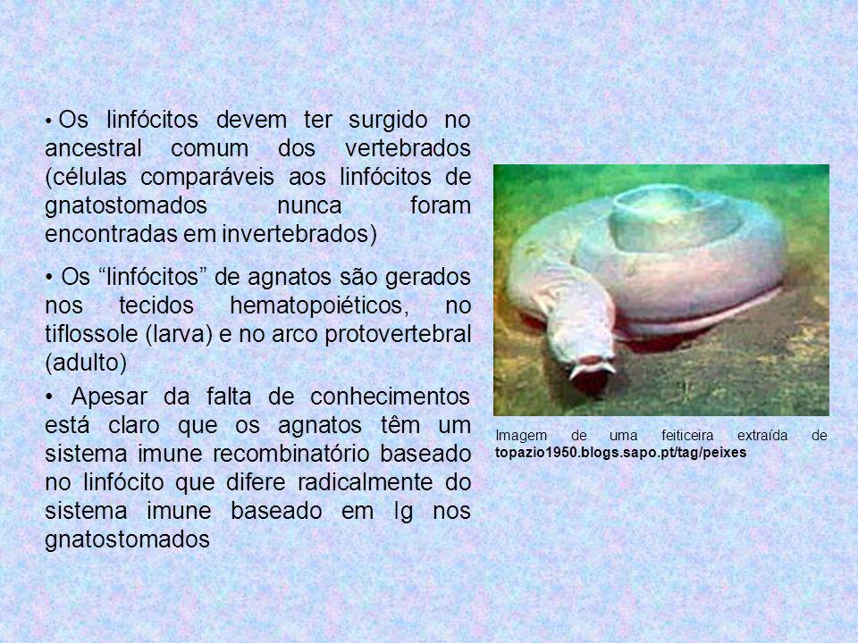 Os linfócitos devem ter surgido no ancestral comum dos vertebrados (células comparáveis aos linfócitos de gnatostomados nunca foram encontradas em invertebrados)