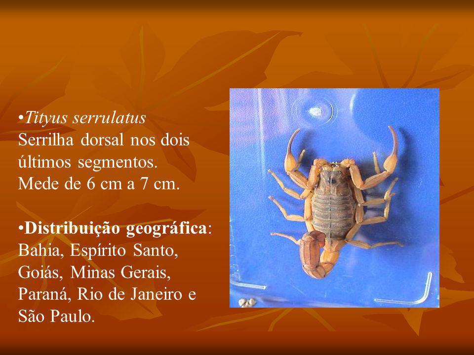 Tityus serrulatus Serrilha dorsal nos dois. últimos segmentos. Mede de 6 cm a 7 cm. Distribuição geográfica: