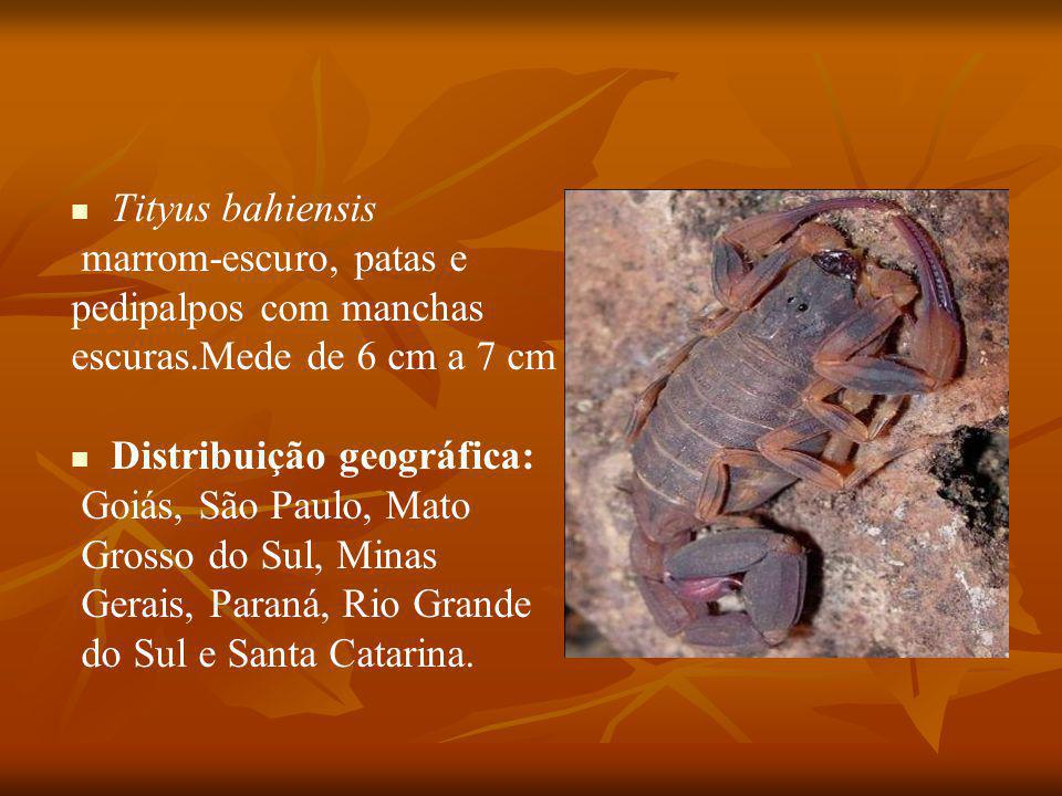 Tityus bahiensis marrom-escuro, patas e. pedipalpos com manchas. escuras.Mede de 6 cm a 7 cm. Distribuição geográfica: