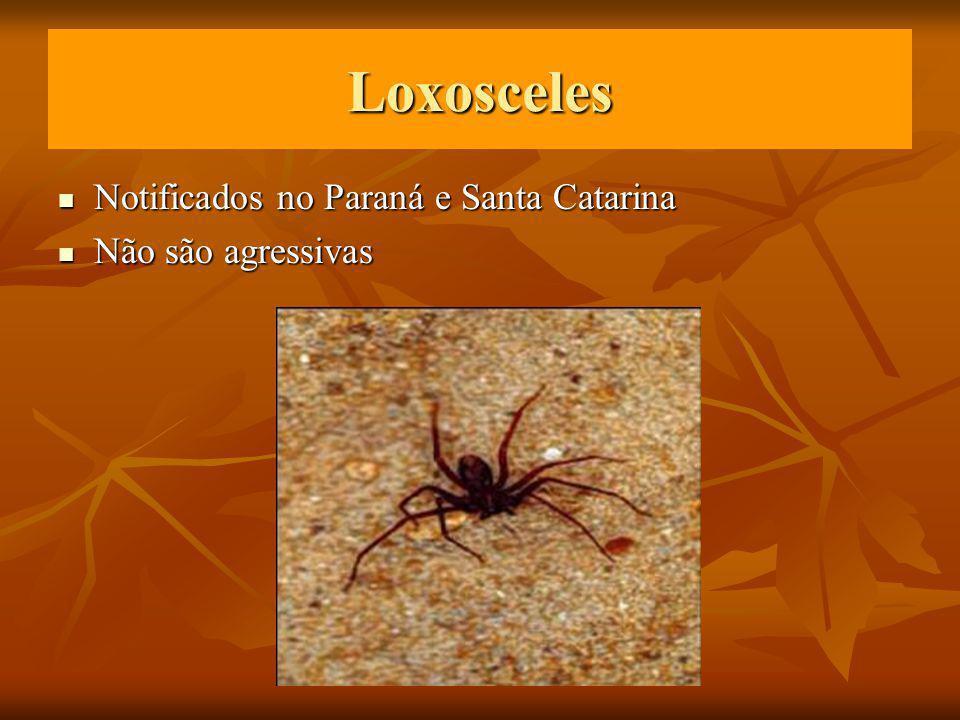 Loxosceles Notificados no Paraná e Santa Catarina Não são agressivas