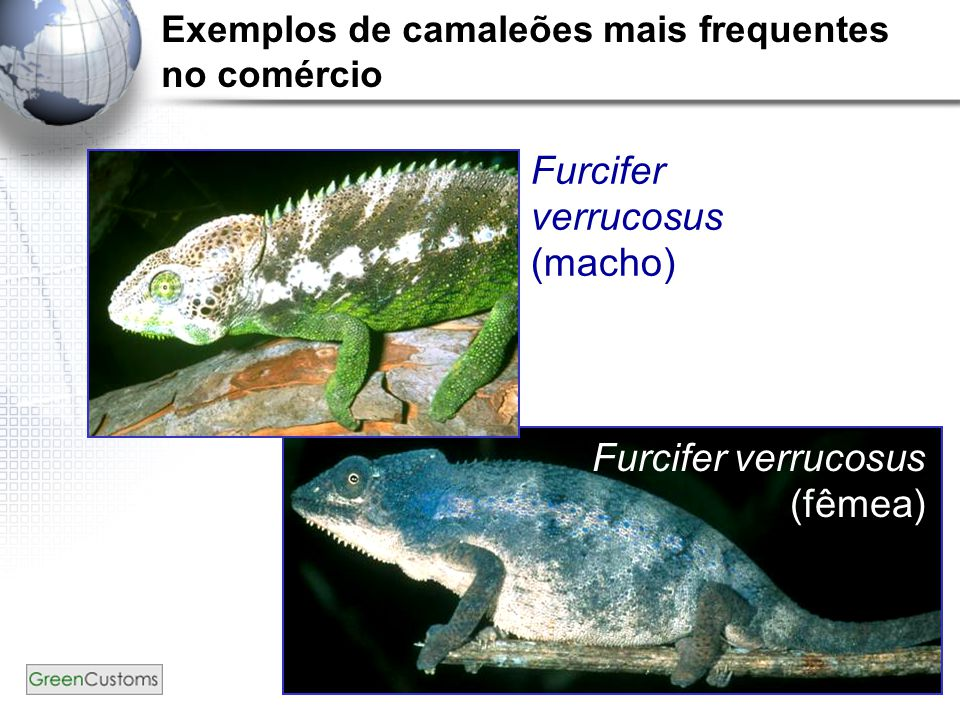 Exemplos de camaleões mais frequentes no comércio