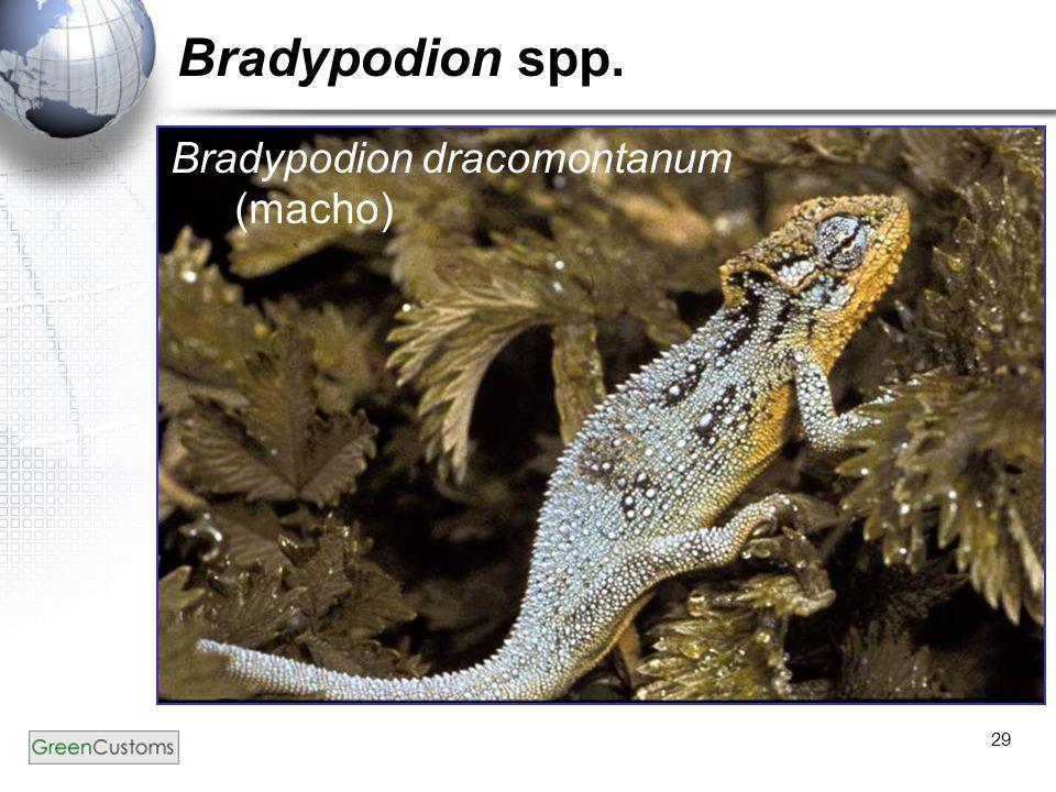 Bradypodion spp. Bradypodion dracomontanum (macho)