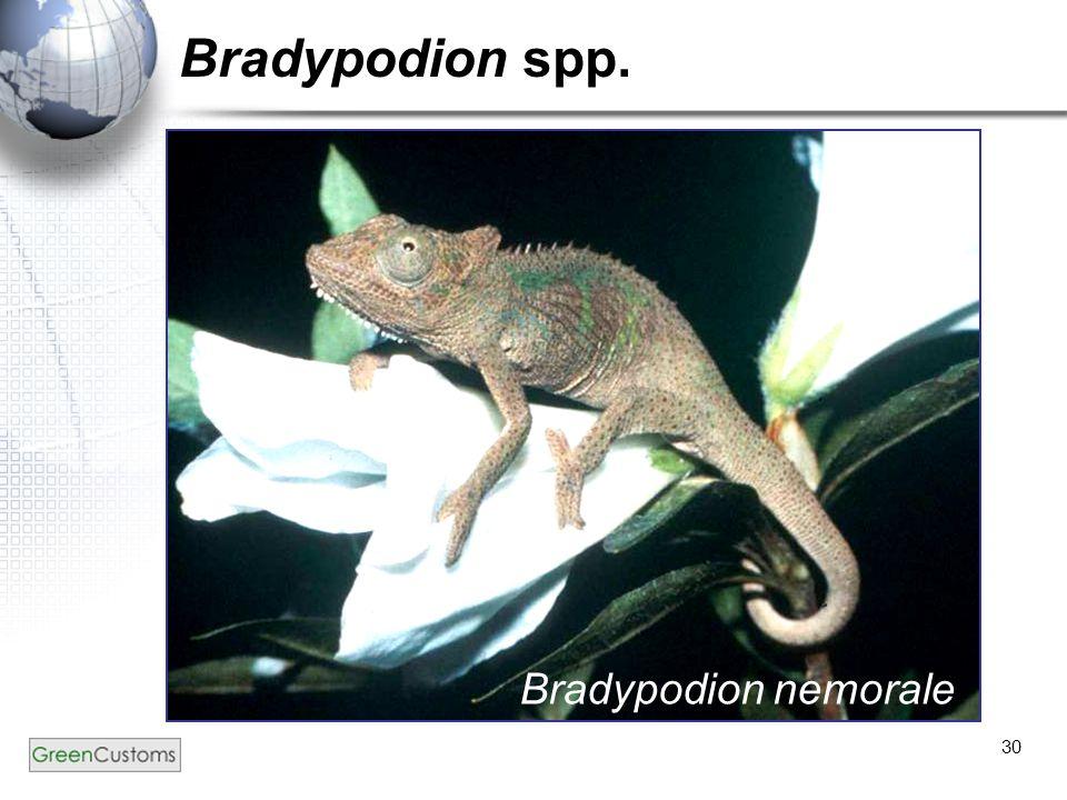 Bradypodion spp. Bradypodion nemorale
