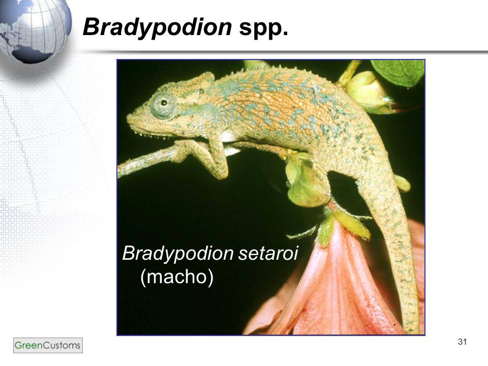 Bradypodion spp. Bradypodion setaroi (macho)