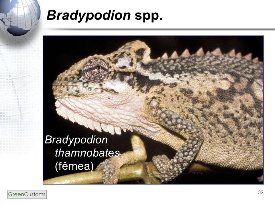 Bradypodion spp. Bradypodion thamnobates (fêmea)