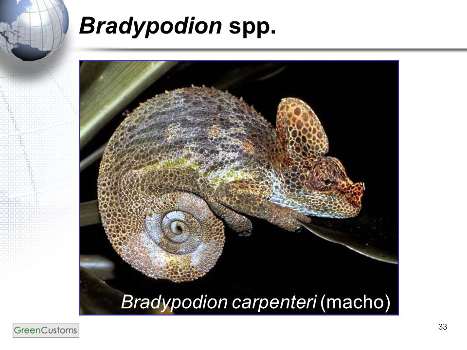 Bradypodion spp. Bradypodion carpenteri (macho)