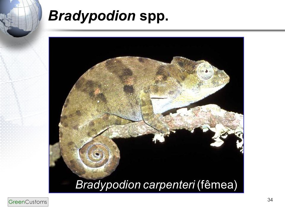 Bradypodion spp. Bradypodion carpenteri (fêmea)