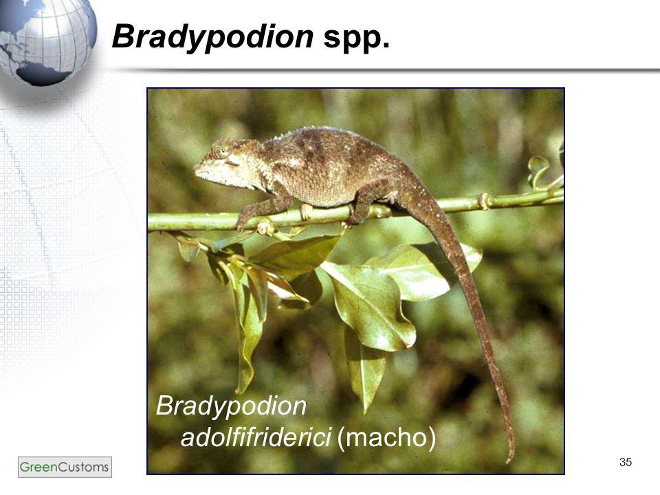 Bradypodion spp. Bradypodion adolfifriderici (macho)