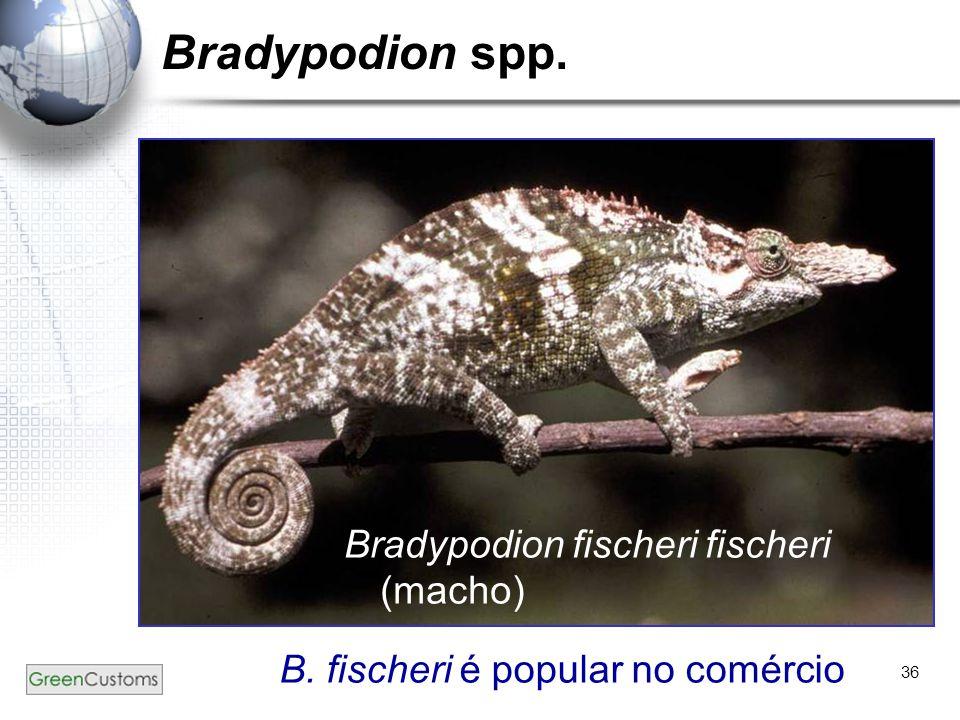 Bradypodion spp. Bradypodion fischeri fischeri (macho)