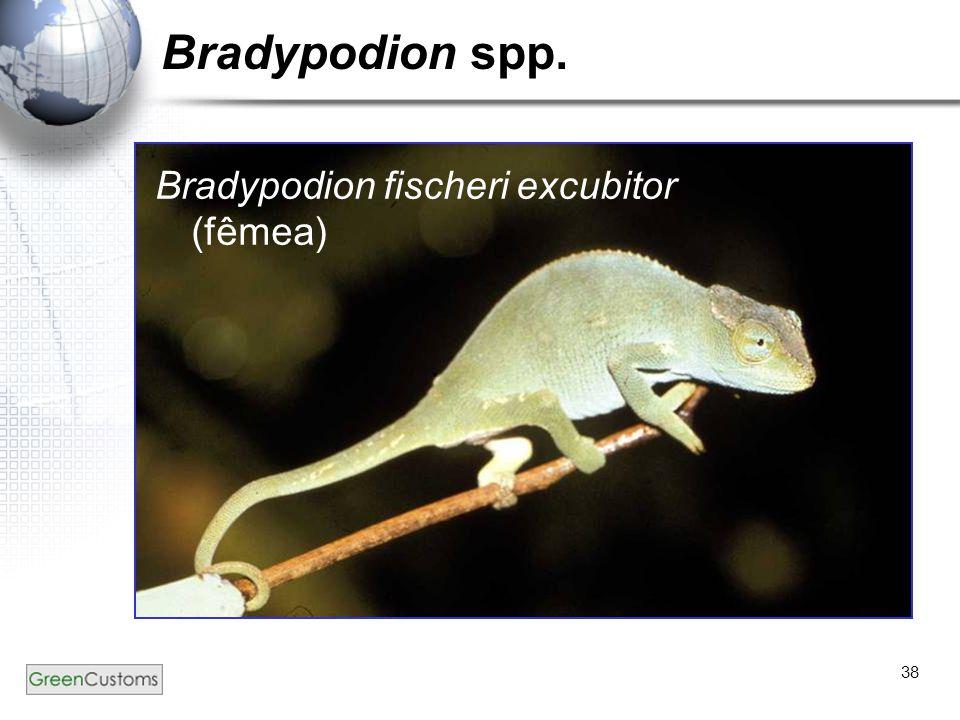Bradypodion spp. Bradypodion fischeri excubitor (fêmea)