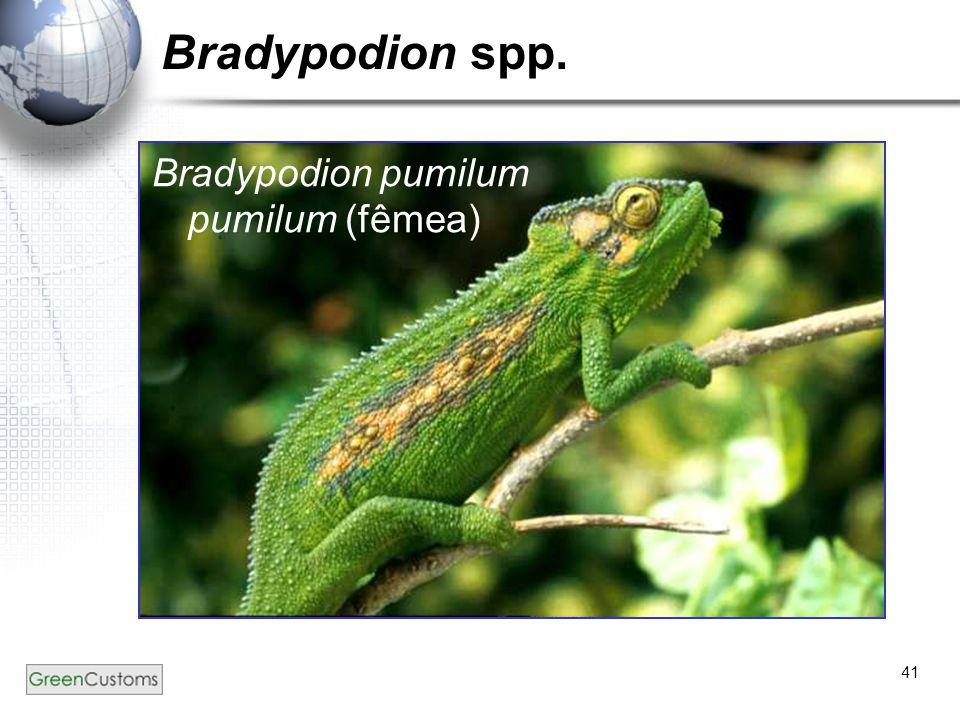 Bradypodion spp. Bradypodion pumilum pumilum (fêmea)