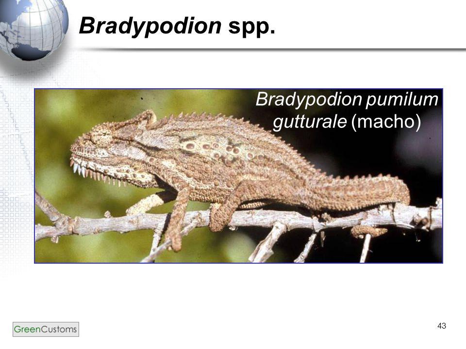 Bradypodion spp. Bradypodion pumilum gutturale (macho)