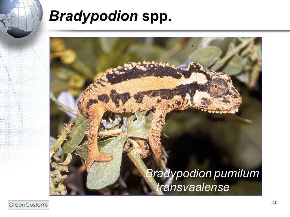 Bradypodion spp. Bradypodion pumilum transvaalense