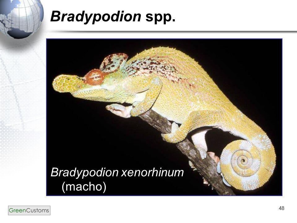 Bradypodion spp. Bradypodion xenorhinum (macho)