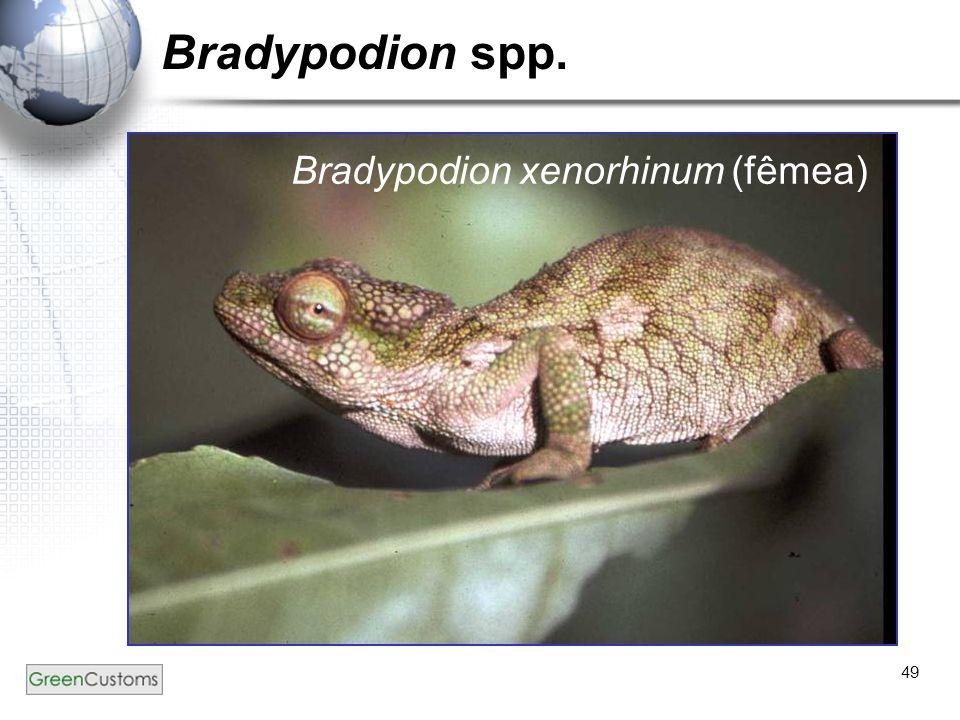 Bradypodion spp. Bradypodion xenorhinum (fêmea)