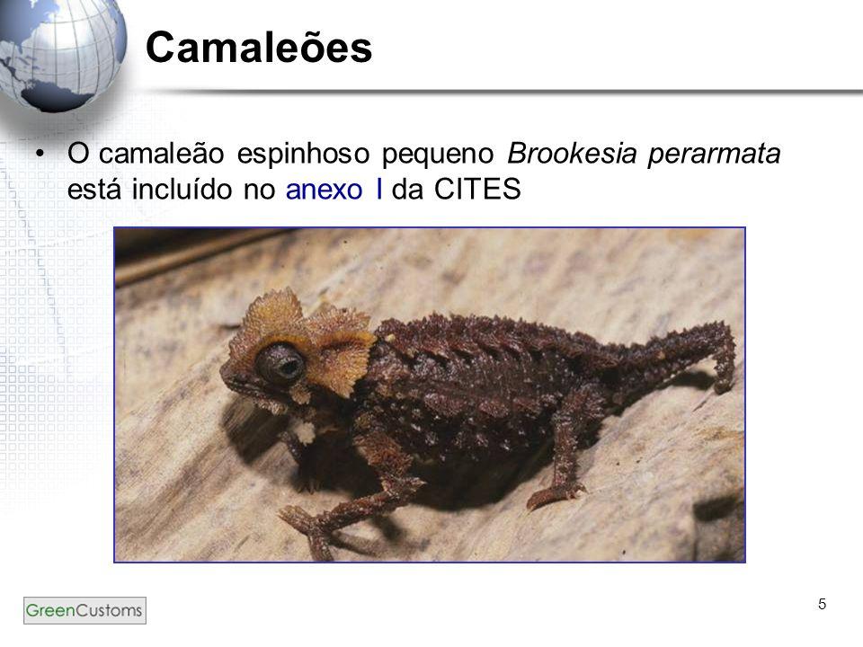 Camaleões O camaleão espinhoso pequeno Brookesia perarmata está incluído no anexo I da CITES