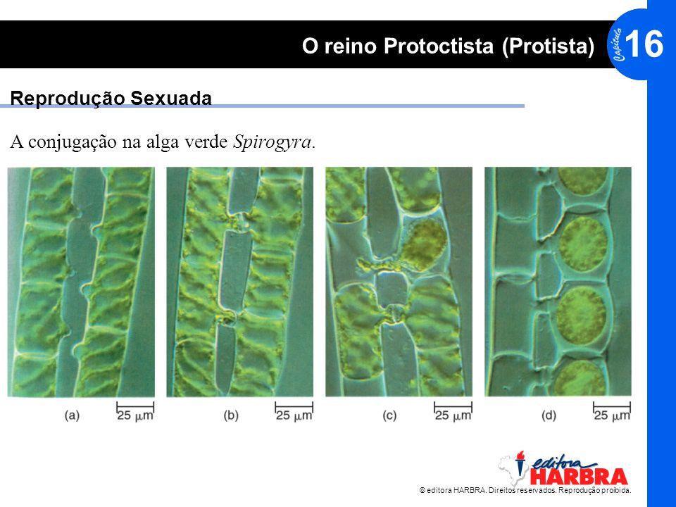 Reprodução Sexuada A conjugação na alga verde Spirogyra.