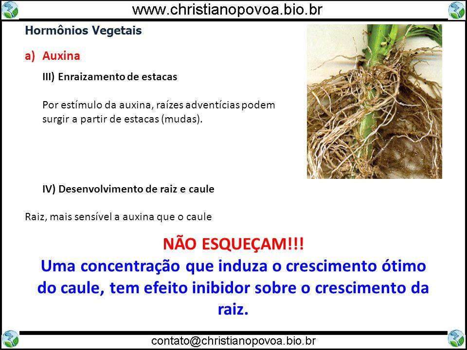 Hormônios Vegetais Auxina. III) Enraizamento de estacas. Por estímulo da auxina, raízes adventícias podem.