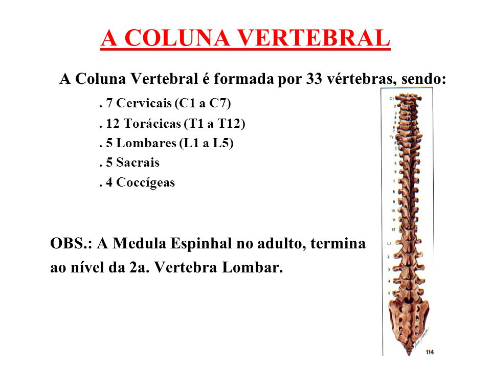 A Coluna Vertebral é formada por 33 vértebras, sendo: