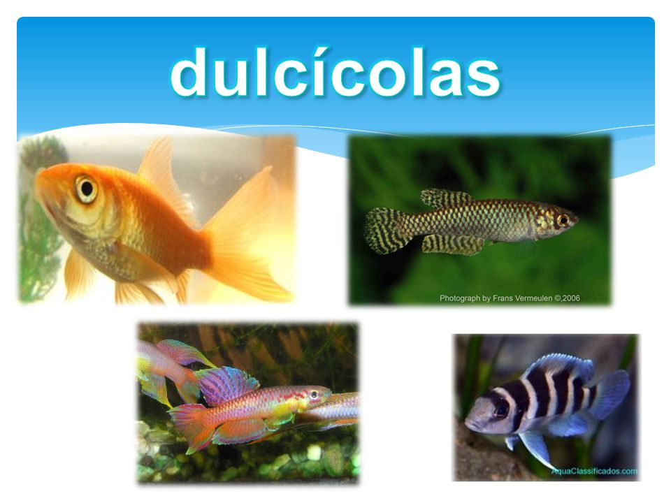 dulcícolas