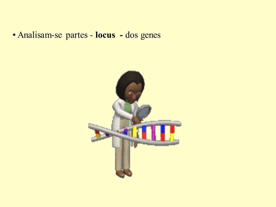 Analisam-se partes - locus - dos genes