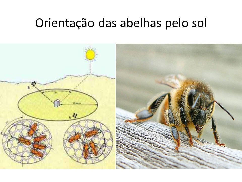 Orientação das abelhas pelo sol