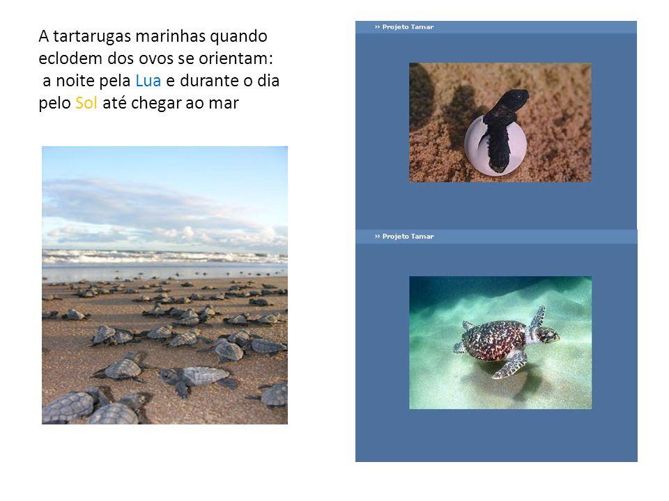 A tartarugas marinhas quando eclodem dos ovos se orientam: