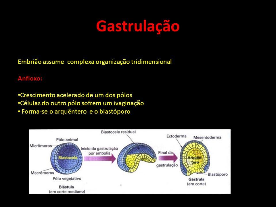 Gastrulação Embrião assume complexa organização tridimensional
