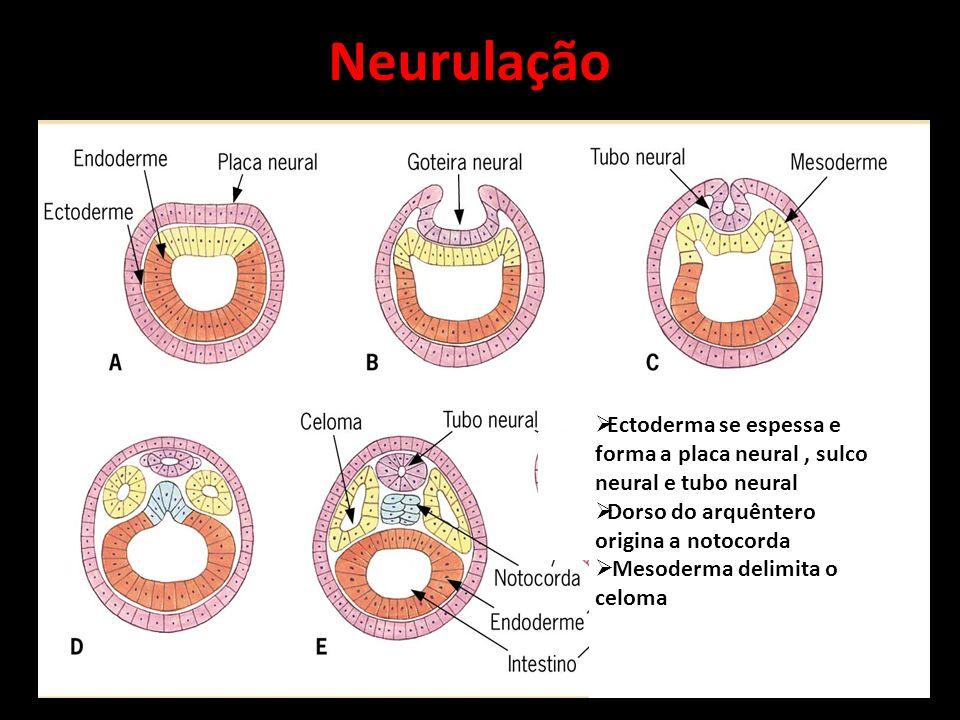 Neurulação Ectoderma se espessa e forma a placa neural , sulco neural e tubo neural. Dorso do arquêntero origina a notocorda.