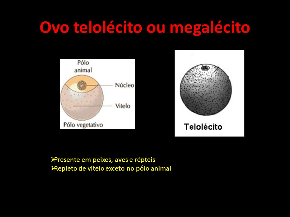 Ovo telolécito ou megalécito