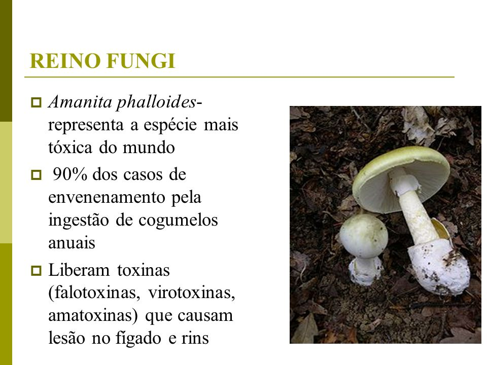 REINO FUNGIAmanita phalloides-representa a espécie mais tóxica do mundo. 90% dos casos de envenenamento pela ingestão de cogumelos anuais.