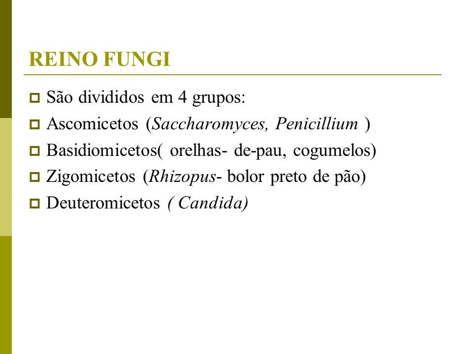 REINO FUNGI São divididos em 4 grupos: